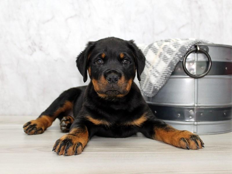 Rottweiler-Female-Black / Tan-3088099-Petland Lewis Center