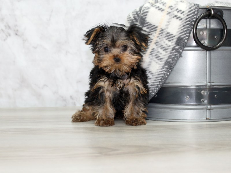 Yorkshire Terrier-Male-Black / Tan-3099214-Petland Lewis Center