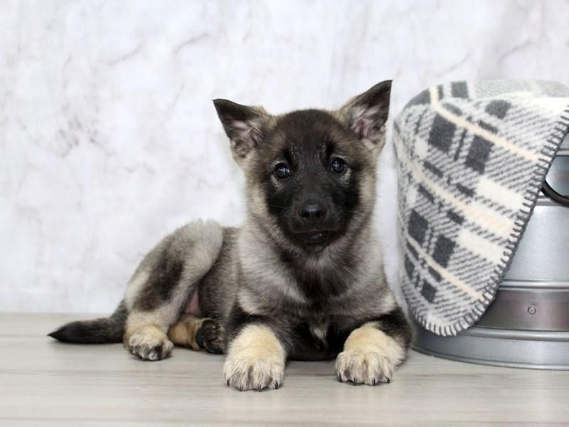 Norwegian Elkhound-Male-Black / Silver-3110254-Petland Lewis Center