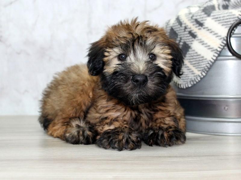 Soft Coated Wheaten Terrier-Female-Wheaten-3077275-Petland Lewis Center