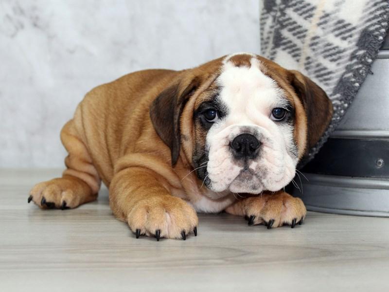 English Bulldog-Female-Red-3099179-Petland Lewis Center