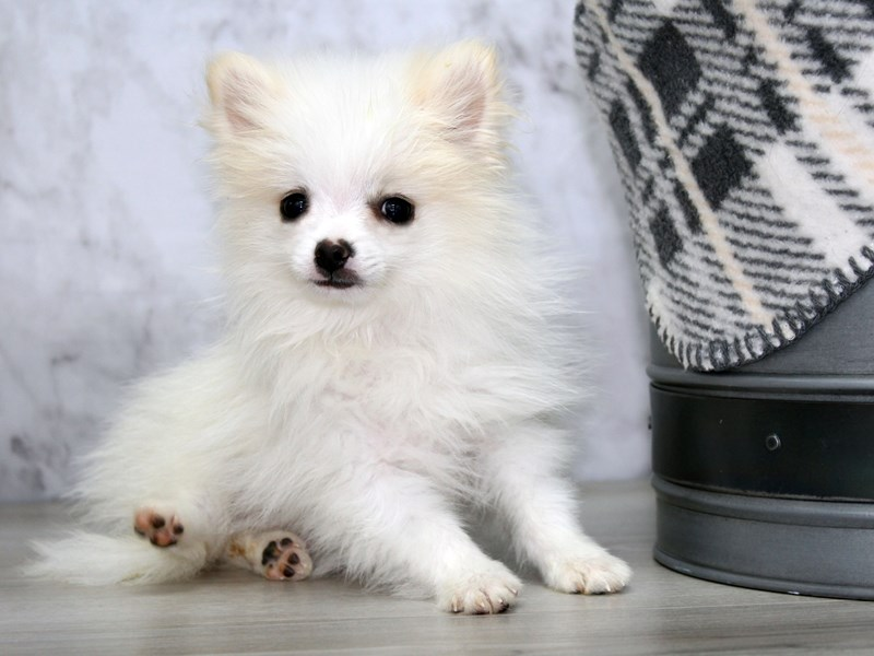 Pomeranian-Male-White-3121162-Petland Lewis Center