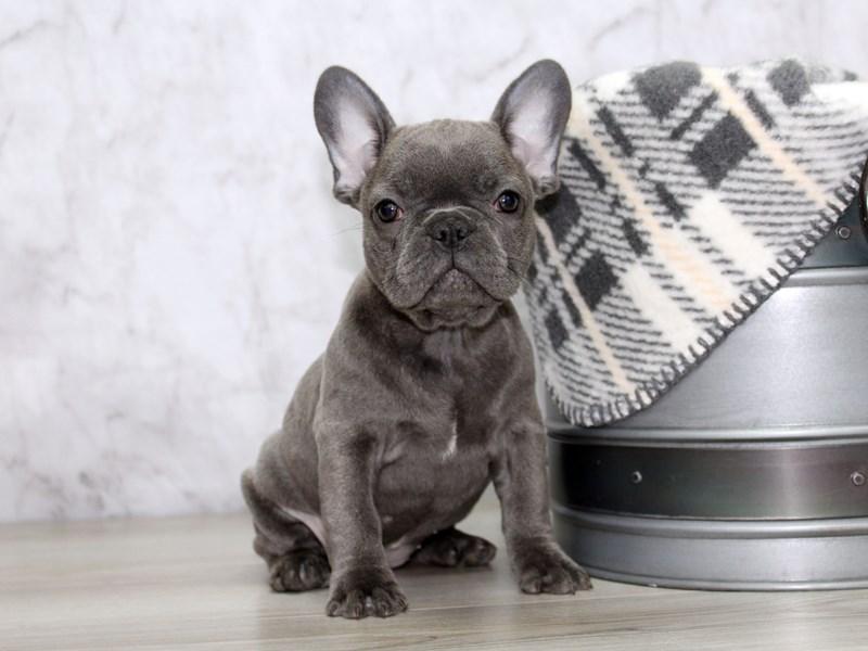 French Bulldog-Female-Blue-3121165-Petland Lewis Center