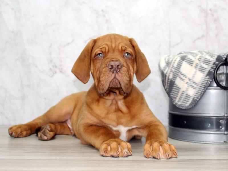 Dogue De Bordeaux-Male-Red-3131521-Petland Lewis Center