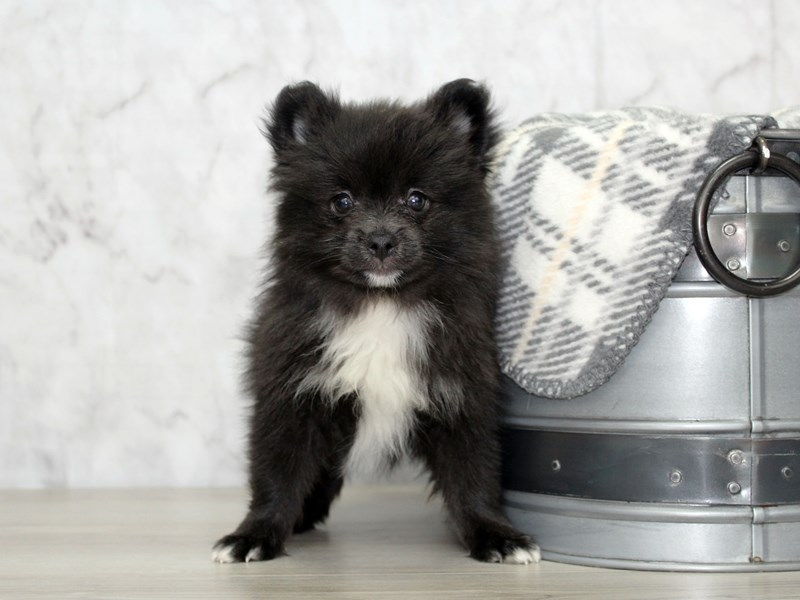 Pomeranian-Male-Black / White-3131557-Petland Lewis Center