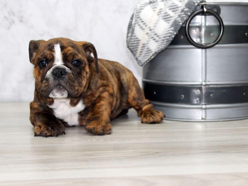 English Bulldog-Female-Brindle-3142031-Petland Lewis Center