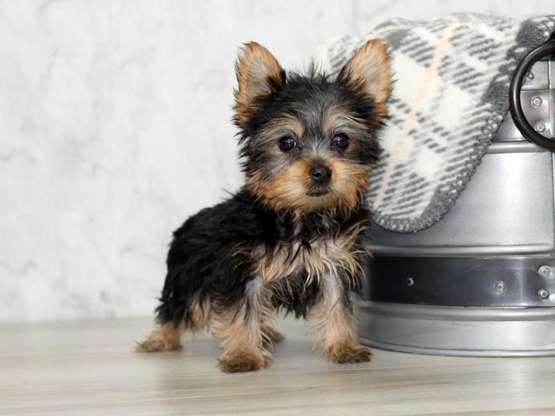 Yorkshire Terrier-Female-Black / Tan-3131556-Petland Lewis Center