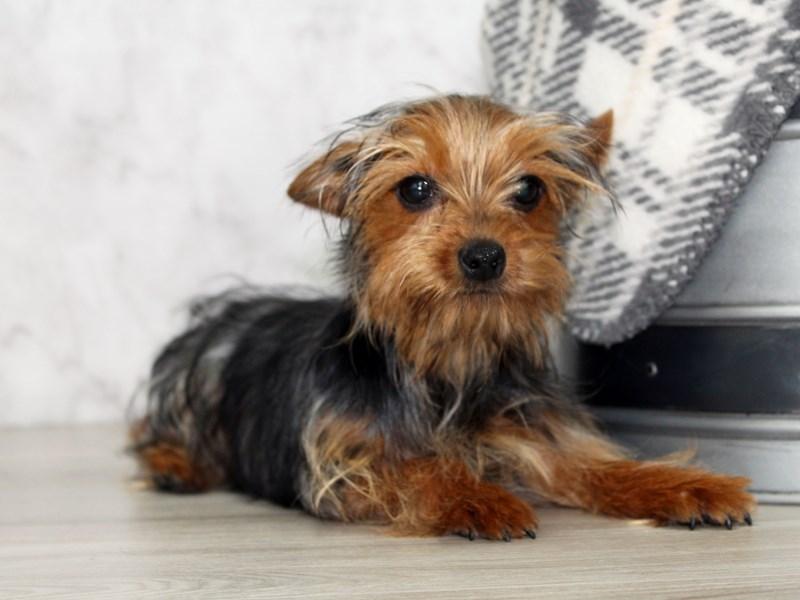 Yorkshire Terrier-Female-Black / Tan-3014951-Petland Lewis Center
