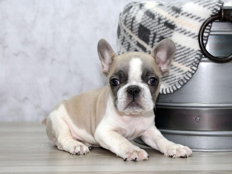French Bulldog-Male-Lilac-3055688-Petland Lewis Center
