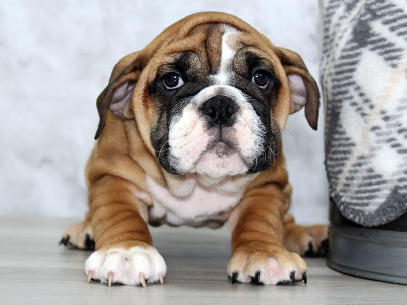 English Bulldog-Female-Fawn-3099178-Petland Lewis Center