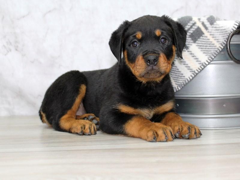 Rottweiler-Female-Black / Tan-3121163-Petland Lewis Center