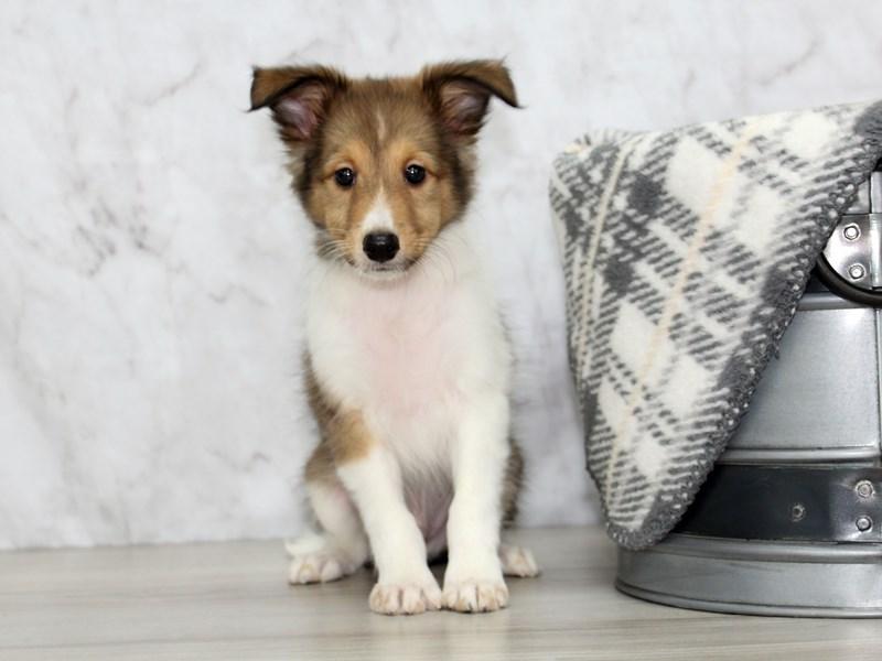 Shetland Sheepdog-Male-Sable / White-3162122-Petland Lewis Center
