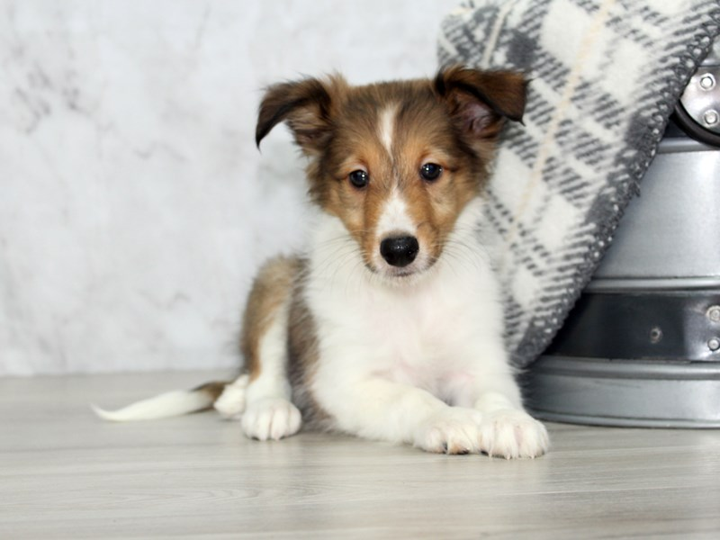 Shetland Sheepdog-Male-Sable / White-3162121-Petland Lewis Center