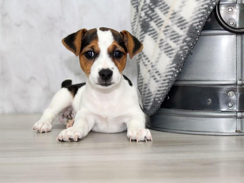 Jack Russell Terrier-Female-Black / White-3172105-Petland Lewis Center